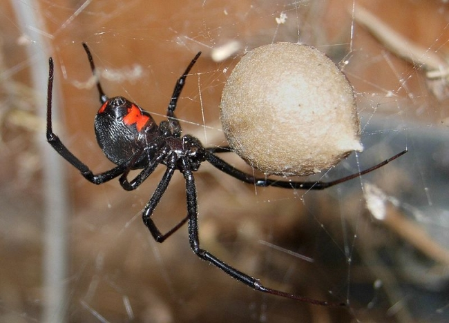 Black widow spider. Notice the red hourglass pattern
