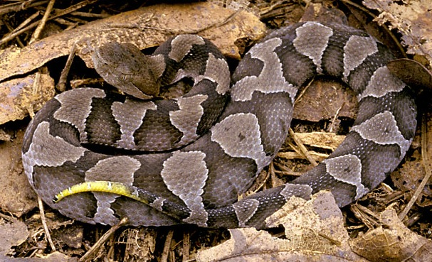 Copperhead snake. Notice the triangular head and vertically-oriented pupils, both characteristic of pit vipers. Also, the yellow-tipped tail indicates this is a juvenile