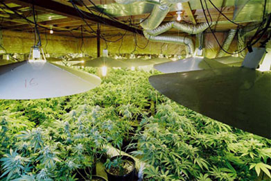 Marijuana grow operation