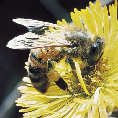 Bees, like this honeybee, are hairy, fat, and feed solely on pollen