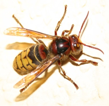 Hornets have larger heads than yellow jackets
