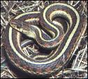 Common, harmless garter snake