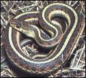 Common, harmless garter snake