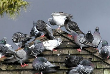 Pest birds cause many problems for building occupants