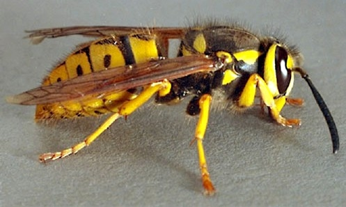 Yellowjackets are types of wasps, which have narrow bodies and are often aggressive