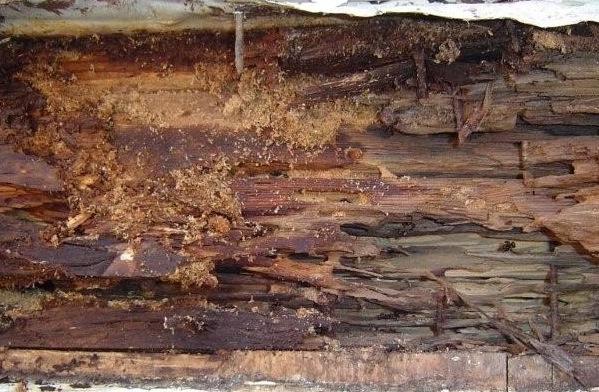 Dommages caus�s par les fourmis � cause de leurs galeries