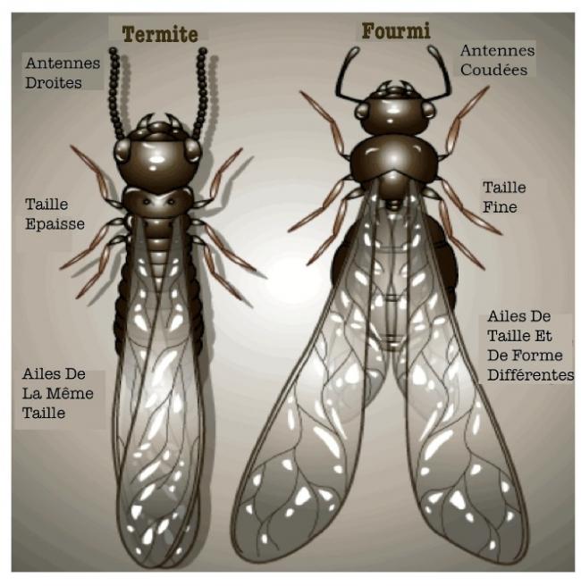 Les termites et les fourmis se diff�rencient de trois mani�res fondamentales