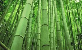 Bamboo is a fast-growing, hollow grass