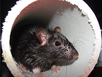 Rat in a PVC pipe