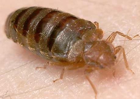 bed bugs las vegas