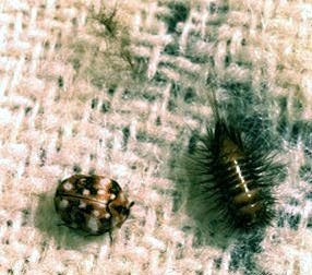 Furniture carpet beetle, adult and larvae