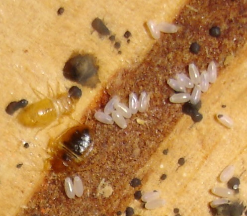 Bed bugs, their eggs and excrement