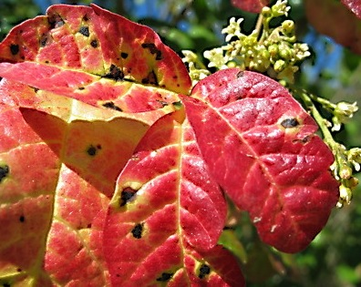 Poison oak, red with fall and spottet black from air-exposed urushiol oil