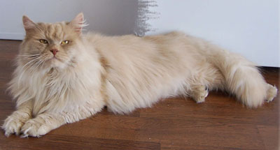Some cat and dog breeds, like this siberian cat, are believed by many to be hypoallergenic
