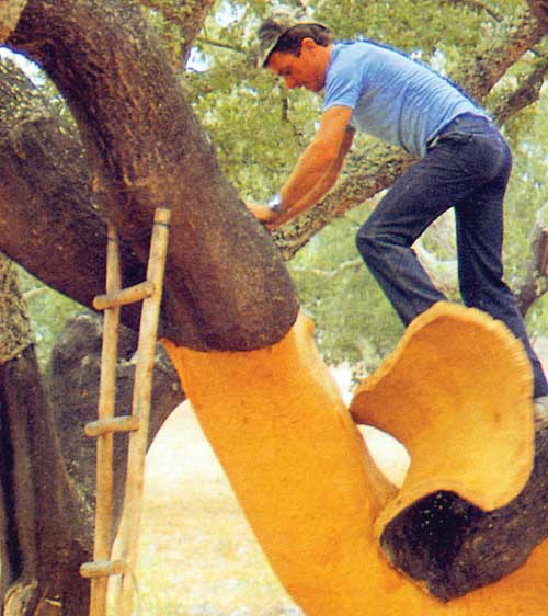 Un travailleur enlève l'écorce d'un chêne-liège Quercus suber qui sera utilisée pour fabriquer des planchers de liège et d'autres matériaux de construction.