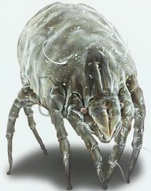 Un acarien vu sous microscope à fort grossissement