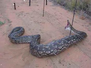 Ce serpent ne mangera plus aucun moutons